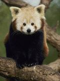 A Nepalese Red Panda Sits on a Tree Branch Photographic Print by Jason Edwards