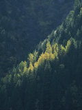 A View of Evergreen and Quaking Aspen Trees Near Ouray Photographic Print by Marc Moritsch