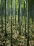 Slender Green Trunks in a Bamboo Forest Photographic Print by Luis Marden