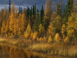 Autumn Colors are Displayed in the Sedges and Tamarack Trees Stampa fotografica di Gehman, Raymond