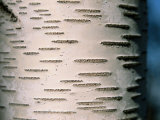 A Close View of White Birch Bark Photographic Print by Tim Laman