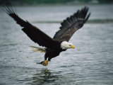 An American Bald Eagle Grabs a Fish in its Talons Fotografisk tryk af Klaus Nigge