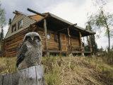 A Hawk Owl Sits on a Stump Near a Log Cabin Reproduction photographique par Michael S. Quinton
