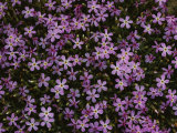 A Spray of Purple Phlox Flowers Photographie par James P. Blair