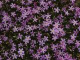 A Spray of Purple Phlox Flowers Photographic Print by James P. Blair