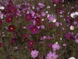 Pink and Red Wildflowers in Meadow Photographic Print by Medford Taylor