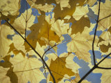 Sugar maple leaves Giclee Print, Nat'l Geographic