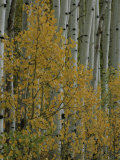 A Close View of Quaking Aspen Trees Growing Along the Kebler Pass in Colorados Elk Mountains Photographic Print by Marc Moritsch