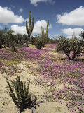 A Desert View with Red Clover Surrounding Various Cacti Photographic Print by Luis Marden