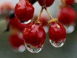 A Close View of Water Droplets on Wild Red Berries Photographic Print by Tim Laman