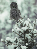 A Great Gray Owl Perches on a Snow-Covered Tree Photographic Print by Tom Murphy