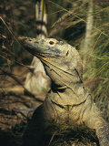 A Captive Komodo Dragon Surveys its Territory Photographic Print by Roy Toft