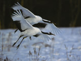 A Pair of Japanese or Red-Crowned Cranes Coming in for a Landing Photographic Print by Tim Laman