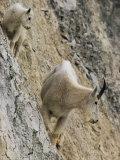 Rocky Mountain Goats on a Steep Hillside Fotografisk tryk af W. E. Garrett