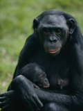 A Mother Bonobo Holds Her Baby at the San Diego Wild Animal Park Fotografisk tryk af Michael Nichols