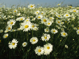 Field Filled with Daisies in Bloom Fotografisk tryk af Klaus Nigge