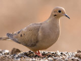 A Mourning Dove (Zenaida Macroura) in Lincoln, Nebraska Photographic Print by Joel Sartore