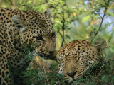 Leopards Nuzzle in the Heat of the Day Photographic Print by Kim Wolhuter