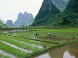 Planting rice with limestone karst mountains in the background near Guilin Lámina fotográfica por Raymond Gehman