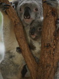 A Koala and its Baby Cling to a Eucalyptus Tree in Eastern Australia Photographic Print by Nicole Duplaix