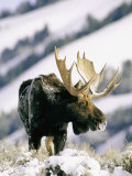 A Bull Moose Surveys His Territory from a High Point Photographic Print by Roy Toft