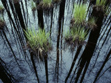 Clumps of Grass in Water Reflecting Forest Trees Photographic Print by Mattias Klum