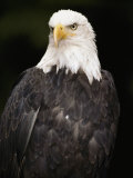 Portrait of an American Bald Eagle Fotografie-Druck von Anne Keiser