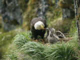 An American Bald Eagle Feeds its Young Fotografie-Druck von Klaus Nigge