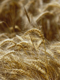 A Close View of a Wheat Plant Lmina fotogrfica por Jason Edwards