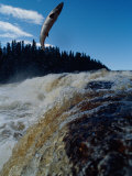 An Atlantic Salmon Leaps out of the Water on its Way to Spawn Upstream Photographic Print by Bill Curtsinger