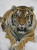 A Siberian Tiger at the Minnesota Zoological Garden Photographic Print by Michael Nichols