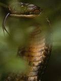 A Close View of a King Cobra Flicking its Tongue Out Fotografisk tryk af Mattias Klum