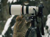 A Curious Japanese Macaque, or Snow Monkey, Examines a Camera Photographic Print by Tim Laman