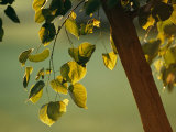 Close View of a Tree Branch and Leaves Photographic Print by Raymond Gehman