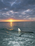 The Fin of a Blacktip Shark Pokes Above the Waters Surface at Sunset Fotoprint van Brian J. Skerry