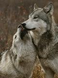 Gray Wolf Submits to the Alpha Fotografisk trykk av Jim And Jamie Dutcher