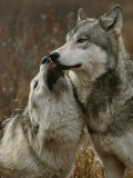 Gray Wolf Submits to the Alpha Fotografiskt tryck av Jim And Jamie Dutcher