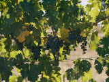 Clusters of Grapes Hanging from Vines in a California Vineyard Photographic Print by Michael S. Lewis