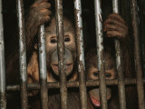 A Pair of Orphaned Orangutans Stare from a Cage at a Rehabilitation Center Photographic Print by Tim Laman