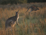 Kangaroos in a Grassland Area Photographic Print by Sam Abell