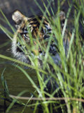 A Tiger Peers out from Behind a Bunch of Grass Photographic Print by Jason Edwards