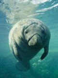 Brian J. Skerry - A Portrait of a Florida Manatee - Fotografik Baskı