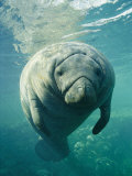 A Portrait of a Florida Manatee Photographic Print by Brian J. Skerry