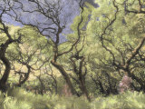 Oak Trees Stretch Gnarled Branches Skyward Fotografie-Druck von Annie Griffiths Belt