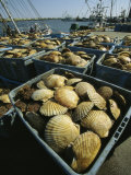 Scallop-Filled Crates Stacked on an Odaito Dock Photographic Print by Tim Laman