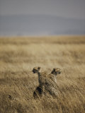A Pair of Cheetahs Examine the Landscape Photographic Print by Jason Edwards