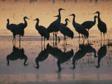 Silhouetted Greater Sandhill Cranes in the Water Photographic Print by Joel Sartore