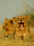 An African Lion Cub Yawns While Resting Photographic Print by Beverly Joubert