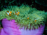 Western Clown Anemonefish Make Their Home Among the Tentacles of a Magnificent Sea Anemone Lmina fotogrfica por Wolcott Henry
