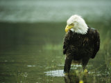 An American Bald Eagle Stares Intently Down at its Prey Below 写真プリント : クラウス・ニッゲ